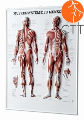 relief table muscels, 54 x 74cm, 3-D poster, in German