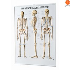 relief tabel skeleton, 54 x 74cm, 3-D poster, in German