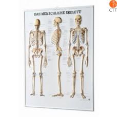 relief tabel skeleton, 54 x 74cm, 3-D poster, in German